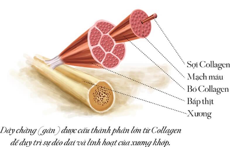 Collagen ở khắp mọi nơi trên cơ thể chúng ra