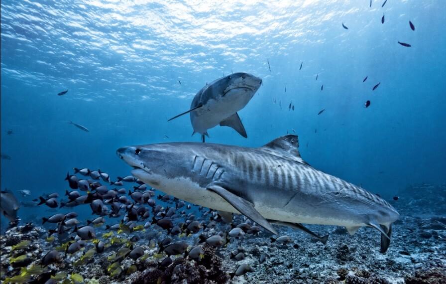 Chondroitin thường thấy trong sụn cá mập có tác dụng rõ rệt khi kết hợp với glucosamine